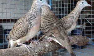 Kesehatan Burung Perkutut