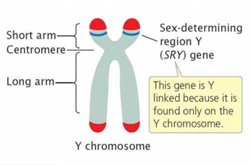 genetic mechanisms of sex determination